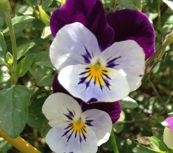 Edible flowers - Violas