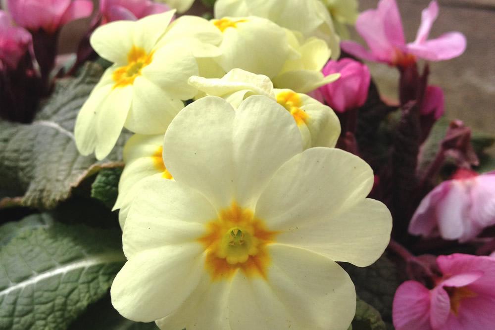 Edible flowers primulas primroses blog the flower deli primulas are edible spring flowers mightylinksfo