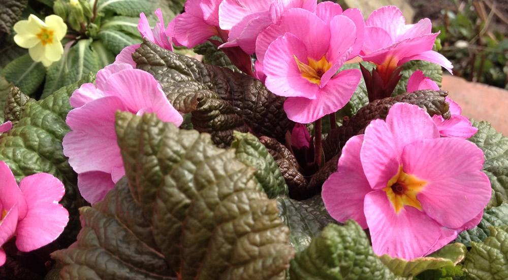 Pink primula or primrose edible flowers