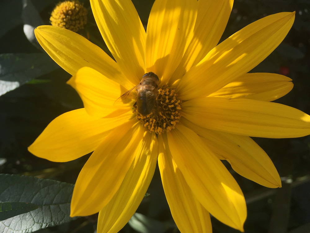 Rudbekia flower with a bee