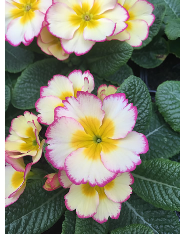 Edible primrose flowers
