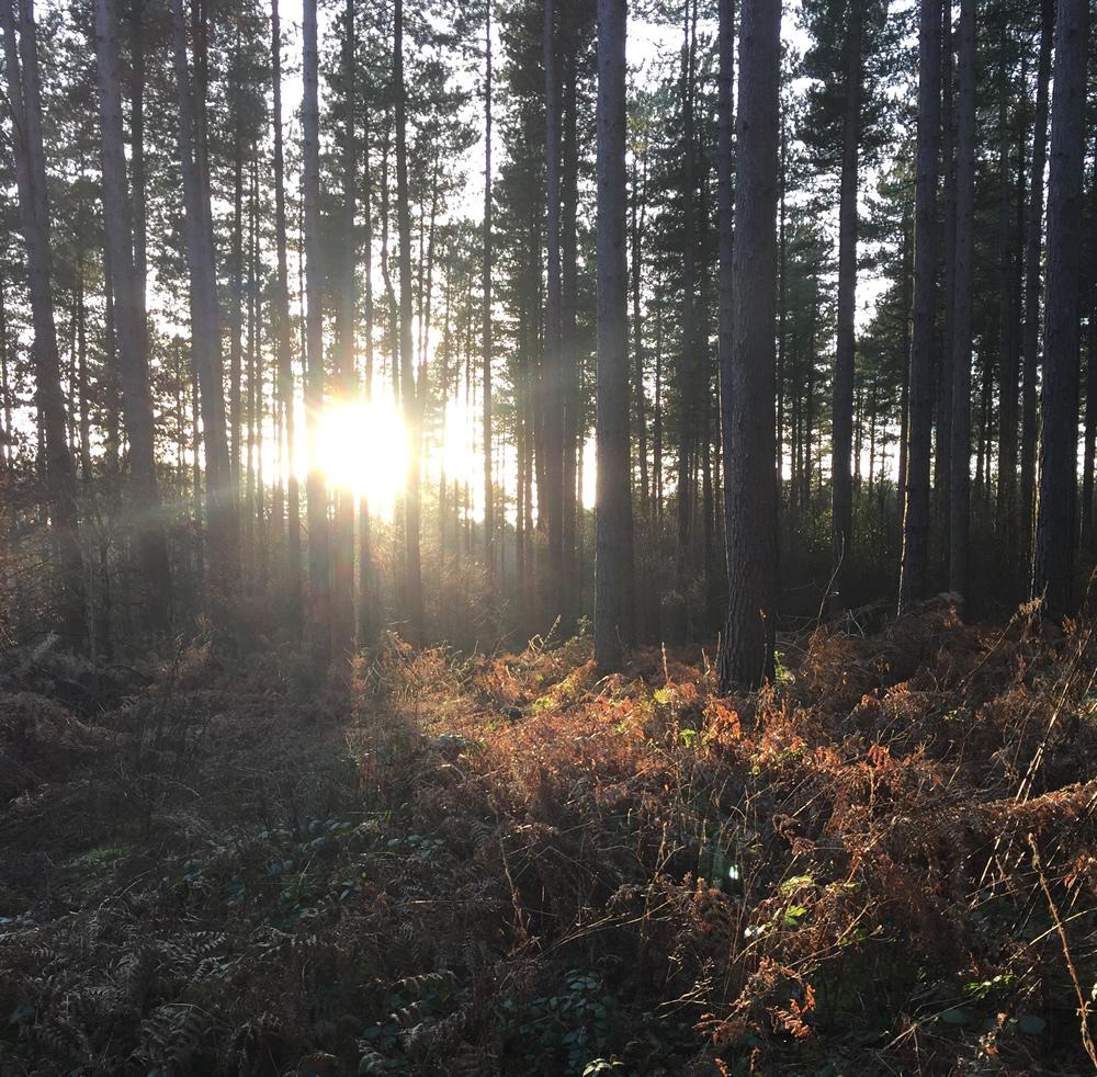 Winter sun shining through trees