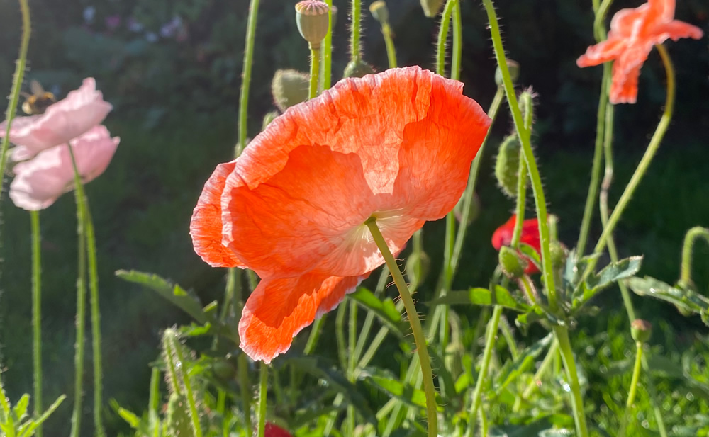 A red poppy flower with sunlight shining through the petals