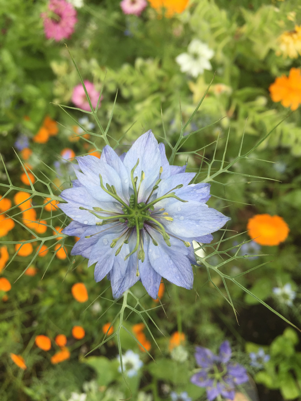 A blue Nigella flower in the foreground of other colourful flowers