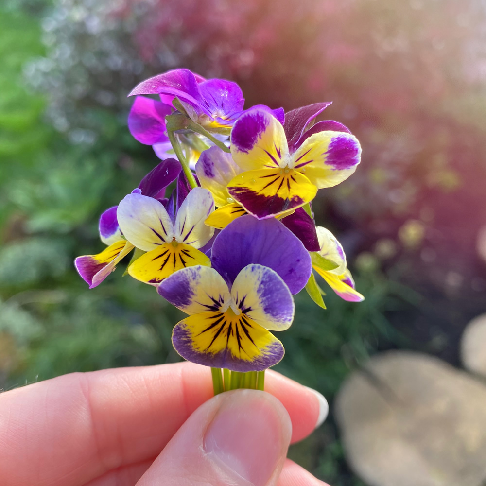 A small posy of violas