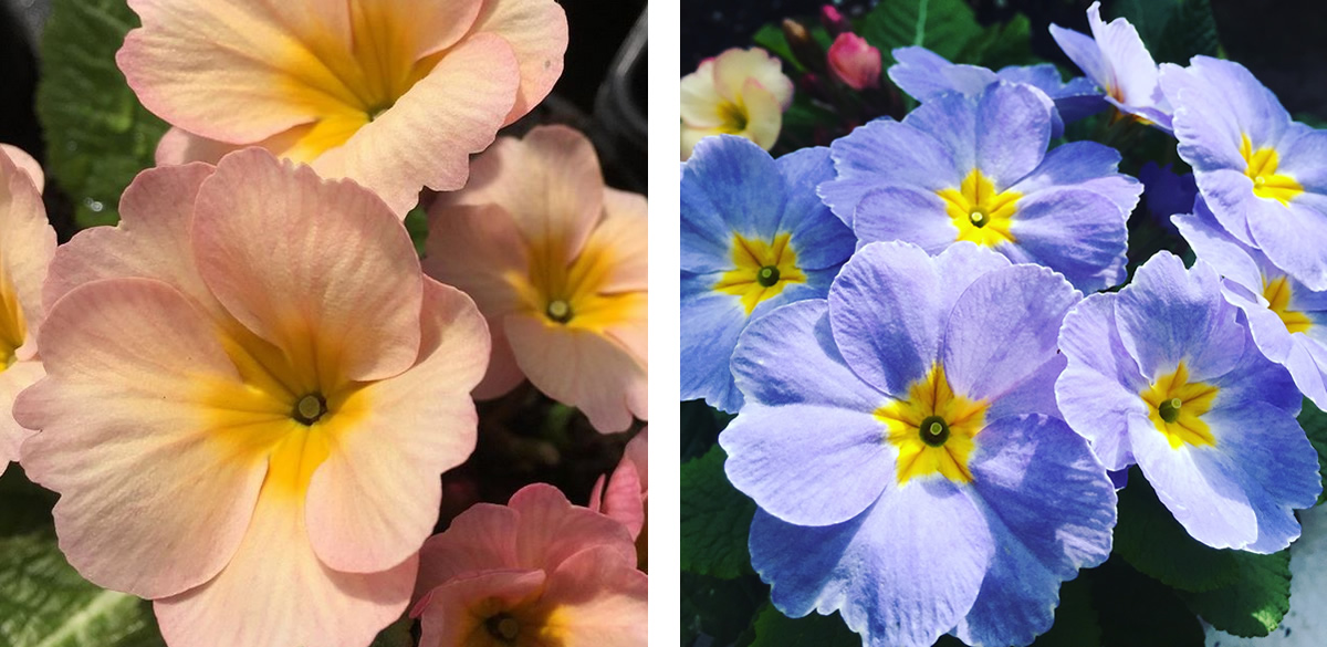 Apricot and blue coloured primroses