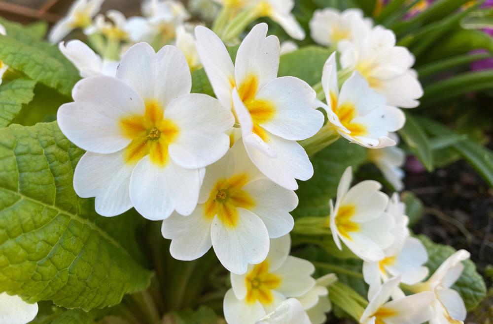Cream and yellow primroses