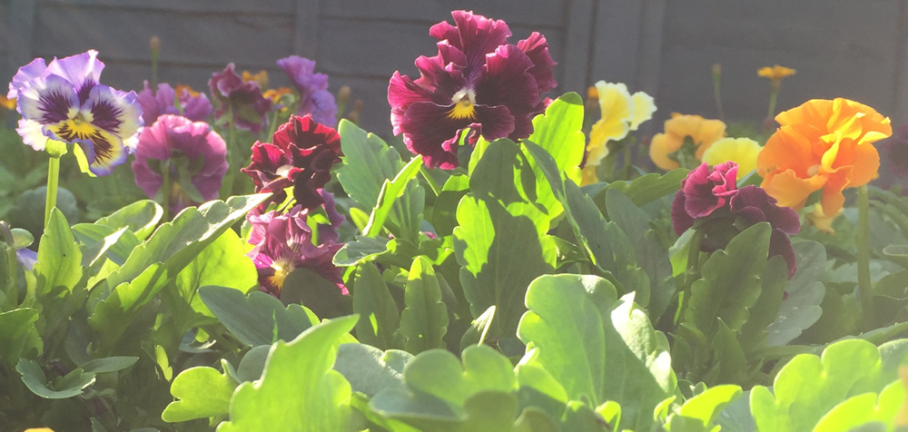 Edible pansy flowers in Nottingham