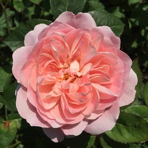 Edible roses to buy online