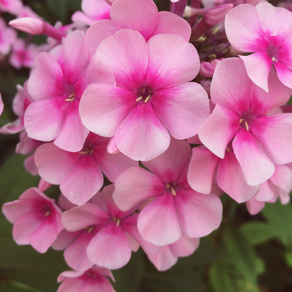 Phlox Our Edible Flowers The Flower Deli